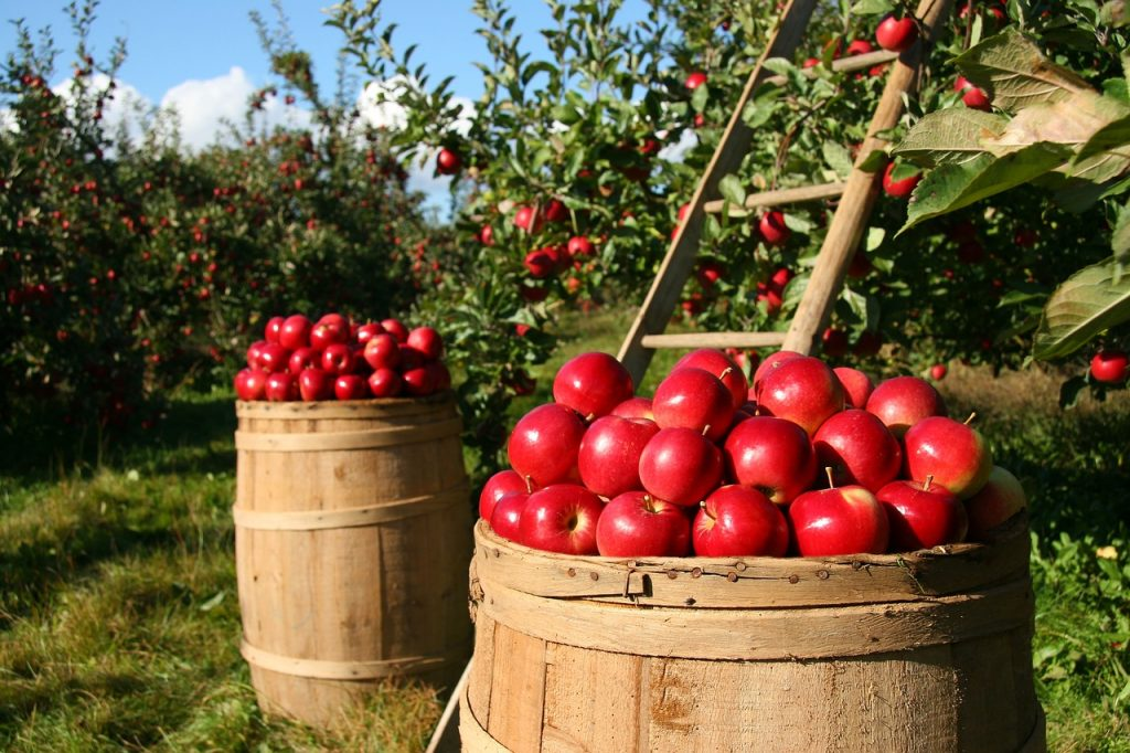 apple fruit picking
